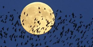 """A flock of birds fly by as  a perigee moon, also known as a super moon, rises in Mir, Belarus, 95 kilometers (60 miles) west of capital Minsk, Belarus, late Sunday, Sept. 27, 2015. The full moon was seen prior to a phenomenon called a """"Super Moon"""" eclipse that will occur on Monday, Sept. 28. (AP Photo/Sergei Grits)"""