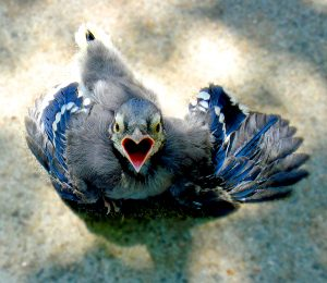cat-dandy-0612-baby-blue-jay-01-by-rob-evans